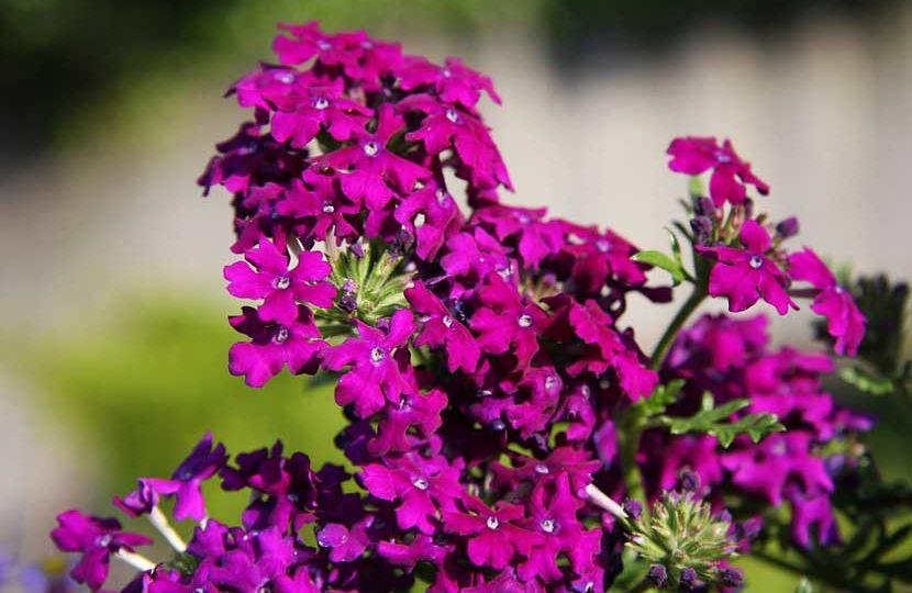 plantas-de-sol-directo-que-florecen-todo-el-ano-trucos-para-montar-en-tu-terraza