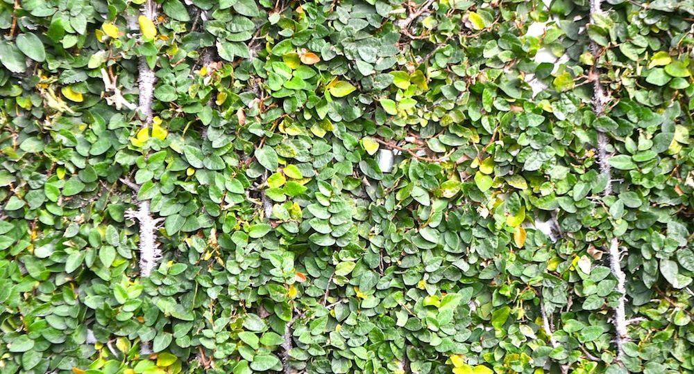 plantas-trepadoras-de-crecimiento-rapido-perennes-trucos-para-comprar-en-la-terraza